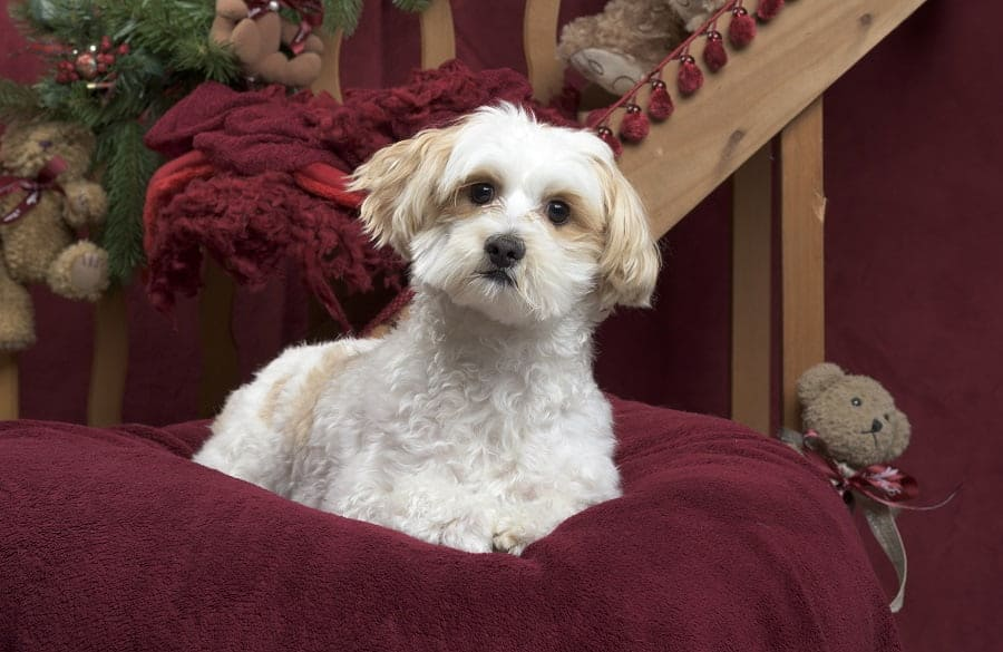 15 Maltipoo Haircuts To Make Your Puppy Even Cuter