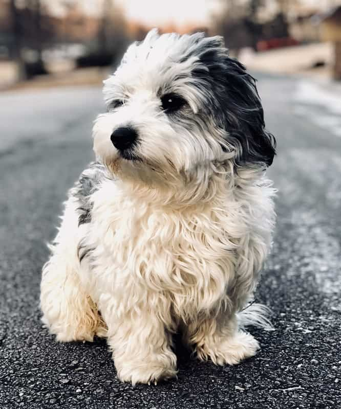 40 Most Adorable Maltese Haircuts Trending In 2021