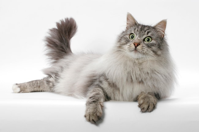 10 Long Haired Cat Breeds You Can T Help But Love 2019