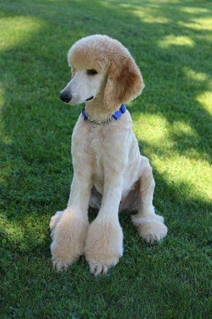 40 Poodle Haircuts You Ll Definitely