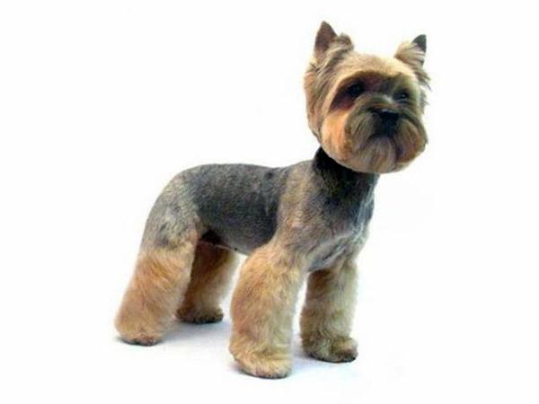 stylish terrier hair Yorkie dog